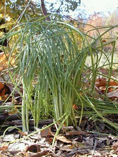 Field Garlic (Wild Onion)