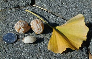 Gingko seeds