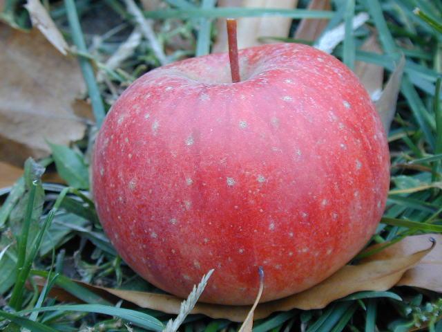Wild Apple - Closeup