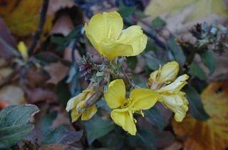 Common Evening Primrose - Flower