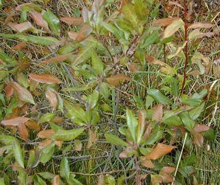 Wild Bay Leaf