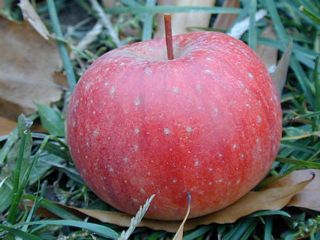 Wild Apple - Closeup