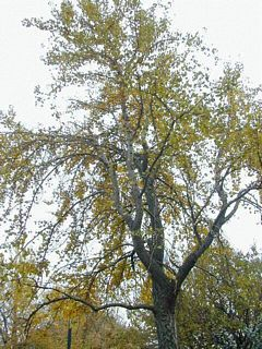 Gingko. A tree with lots of fruits