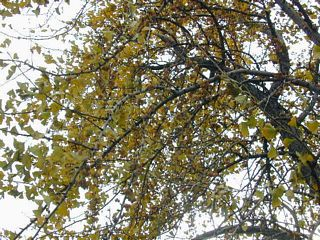Gingko. See the fruits?