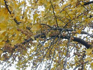Gingko. Can't miss the fruits now!