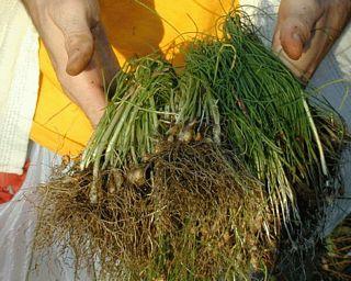 Field Garlic (Wild Onion)