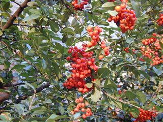 Fire Thorn (Pyracantha)