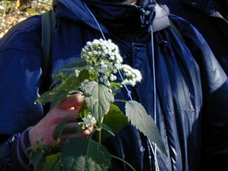 White Snakeroot - poisonous