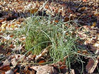 Field Garlic (Wild Onions)