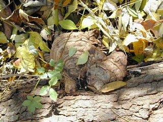 Artist's conk mushroom (Ganoderma applanatum) - medicinal