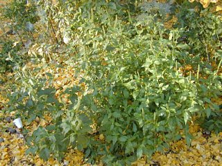 Ragweed - not edible