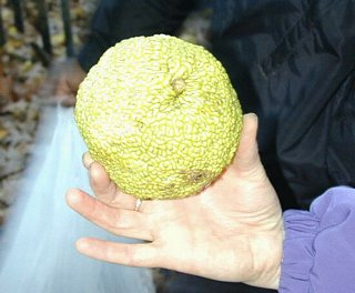 Osage Orange - not edible