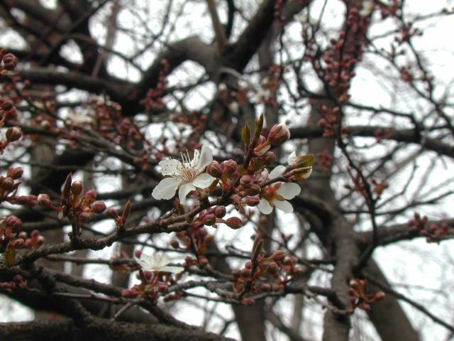Cultivated Plum Tree