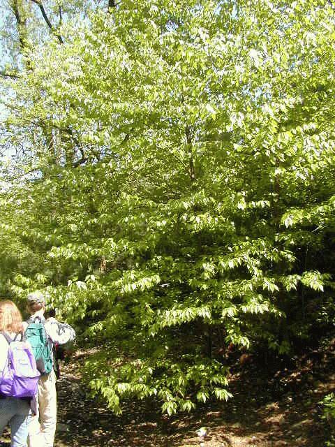Black birch again