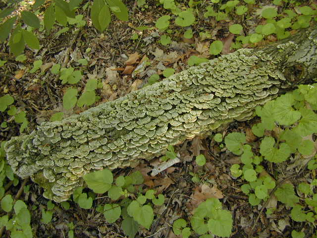 Small turkey tail mushrooms covering log
