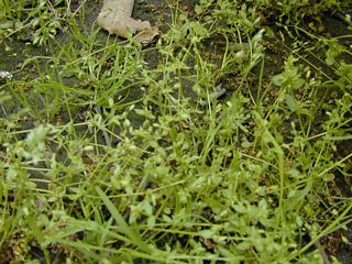 Chickweed (with grass mixed in)