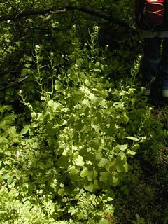 Garlic Mustard (second year)
