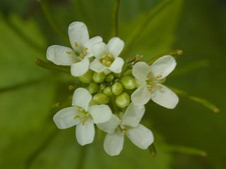 Garlic mustard flower