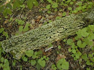Small turkey tail mushrooms covering log
