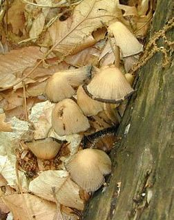 Mica cap mushrooms