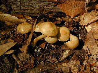 Hard agrocybe mushrooms
