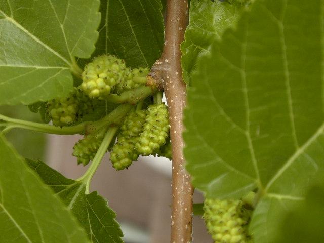 Mulberry tree berry closeup