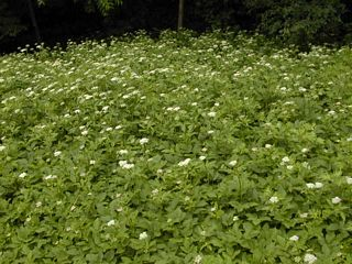Gout weed in flower