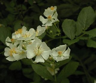 Wild rose flower closeup