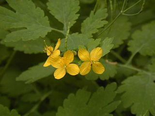 Greater celandine flower closeup