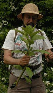Steve holding pokeweed