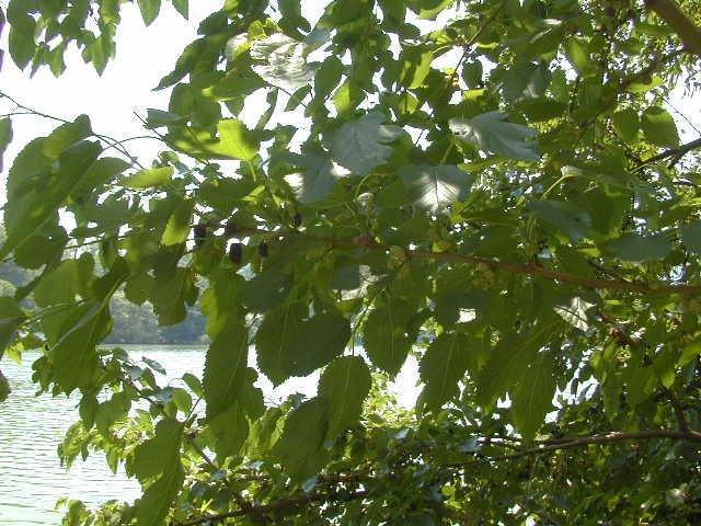 Mulberry tree closeup