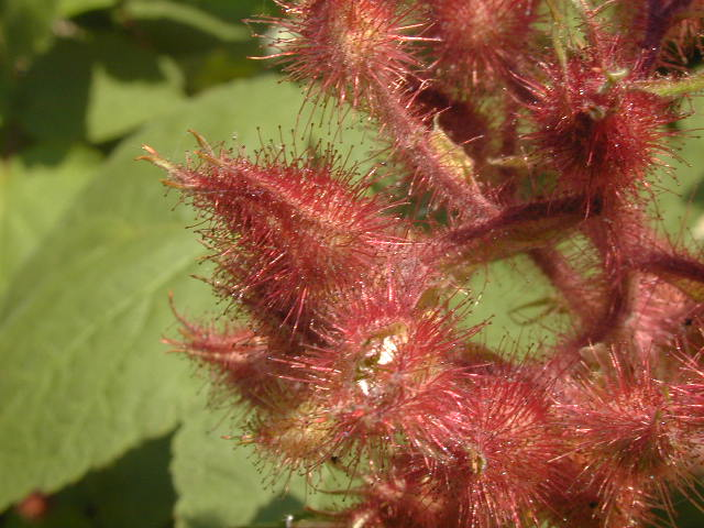 Photo 6 Plant Wineberry Asian Raspberry Rubus