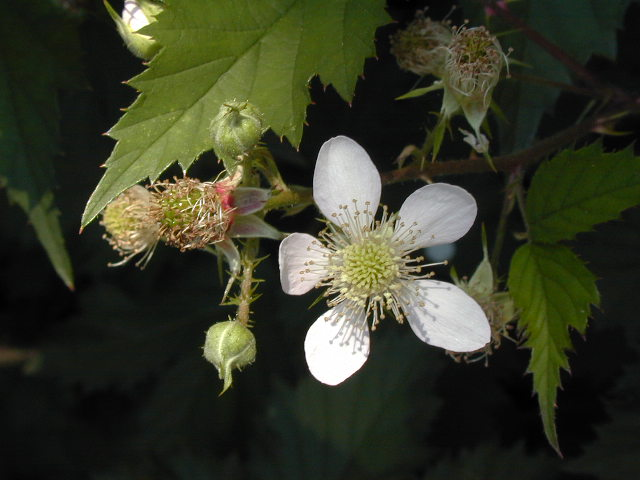 European cut-leaf blackberry flower closeup