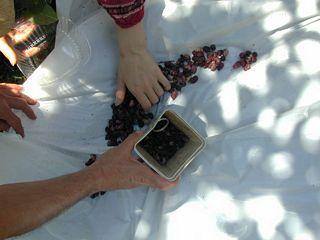 Mulberries on tarp