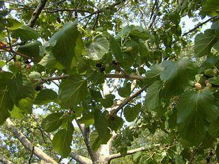 Mulberries along reservoir