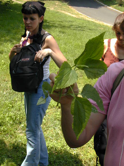 Wildman showing poisonous white snakeroot and telling story