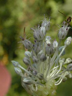 Field garlic flower