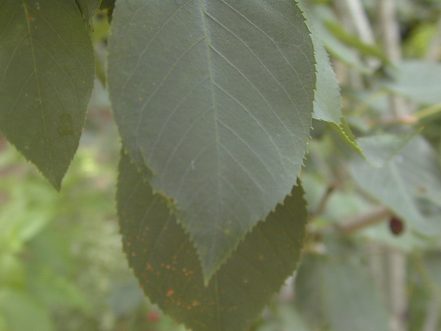 Juneberry leaf closeup