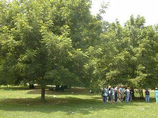 Two black walnut trees