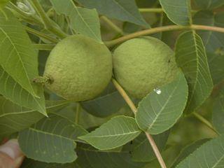 Black walnuts closeup