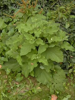 2nd year burdock