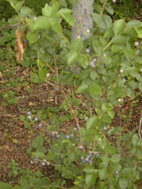 Blueberries near Belvedere Castle
