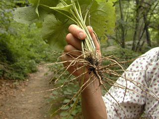 Garlic mustard root