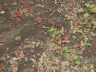Cornelian cherries on the ground