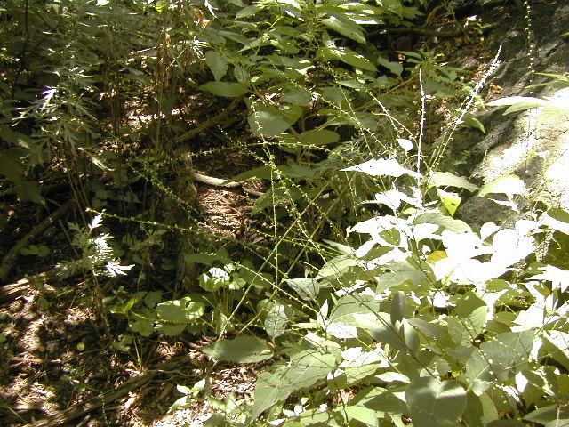 Virginia knotweed