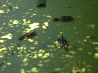 Ducks eating duckweed