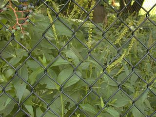 Greater ragweed