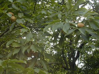 Buckeye chestnut
