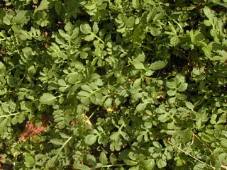 Yellow watercress