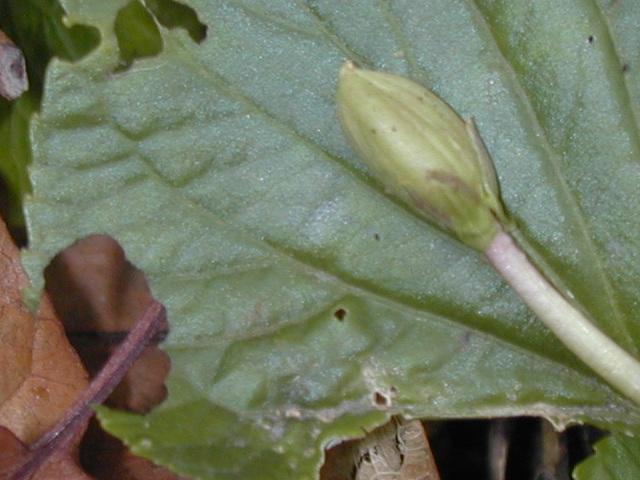 Violet seed pod